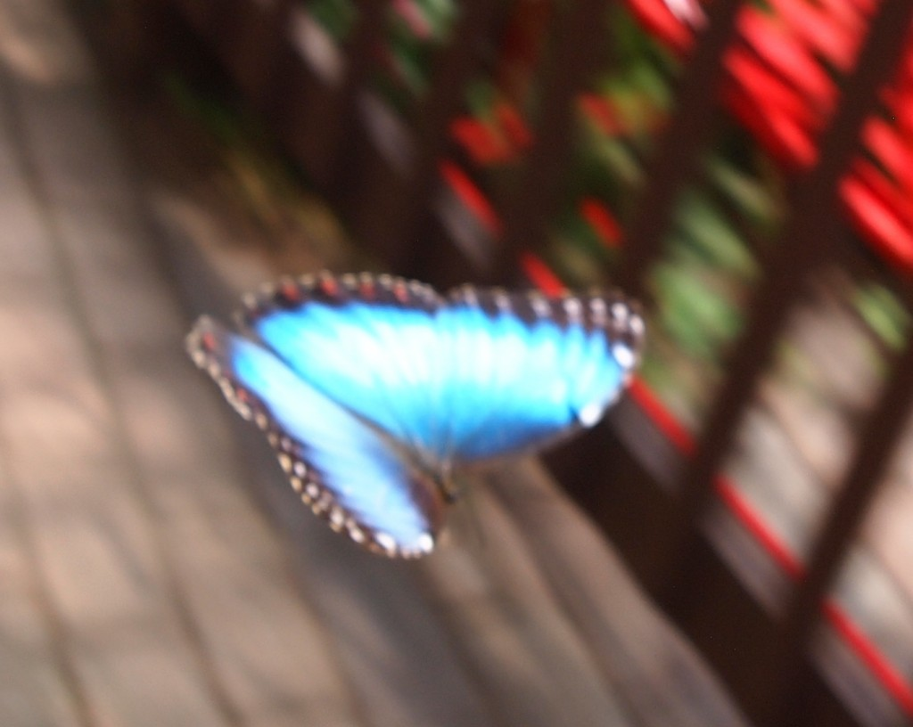 The Extremely Elusive Blue Morpho