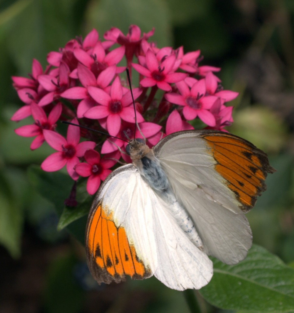 Orange-tipped Butterfly on Blossom